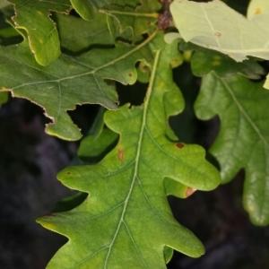 Photographie n°248769 du taxon Quercus pubescens Willd. [1805]