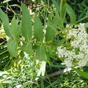 Photographie n°248841 du taxon Sium latifolium