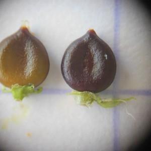 Photographie n°248908 du taxon Persicaria lapathifolia (L.) Delarbre [1800]