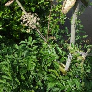 Photographie n°248951 du taxon Angelica sylvestris L. [1753]