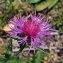 Jean-Luc Gorremans - Centaurea jacea subsp. timbalii (Martrin-Donos) Braun-Blanq. [1952]