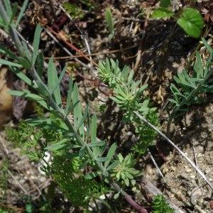Photographie n°248966 du taxon Linaria repens (L.) Mill. [1768]