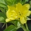 Jean GOURAULT - Solanaceae