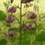 Ans Gorter - Lilium martagon L.
