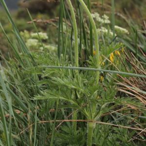 Photographie n°249112 du taxon Pulsatilla alpina subsp. sulphurea sensu P.Fourn. [1936]