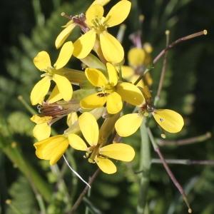 Erucastrum gallicum (Willd.) O.E.Schulz (Fausse Roquette de France)