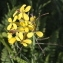 Marie  Portas - Erucastrum gallicum (Willd.) O.E.Schulz