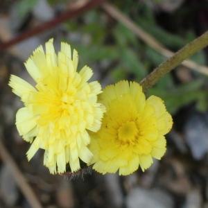 Pilosella lactucella (Wallr.) P.D.Sell & C.West (Piloselle auricule)