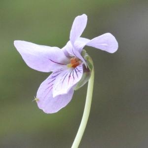 Viola palustris L. (Violette des marais)