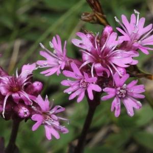 Agrostemma alpina (L.) J.Forbes (Silène de Suède)