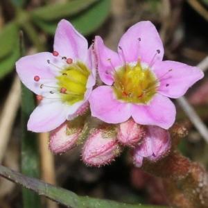 Sedum villosum L. (Orpin velu)