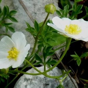 Photographie n°249327 du taxon Ranunculus seguieri Vill.
