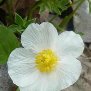 Ranunculus seguieri Vill. (Renoncule de Séguier)