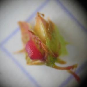 Photographie n°249406 du taxon Rumex obtusifolius L. [1753]