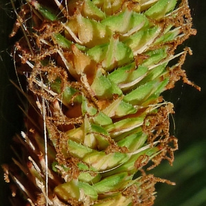 Carex hispida Willd. (Laiche hérissée)