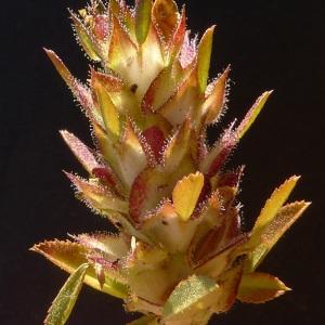 Photographie n°249470 du taxon Ononis mitissima L. [1753]