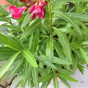 Photographie n°249538 du taxon Nerium oleander L. [1753]