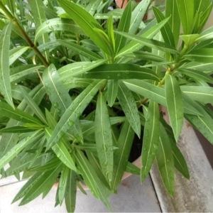 Photographie n°249539 du taxon Nerium oleander L. [1753]