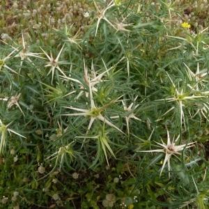 Photographie n°249551 du taxon Centaurea calcitrapa L. [1753]