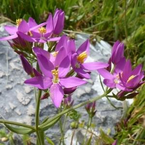 Centaurium erythraea subsp. grandiflorum (Biv.) Melderis