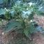 MarieA - Datura stramonium L.