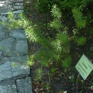 Photographie n°249696 du taxon Daphne gnidium L. [1753]