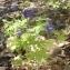 Ans Gorter - Delphinium staphisagria L.
