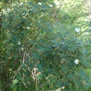 Photographie n°249855 du taxon Rosa elliptica Tausch