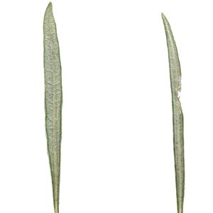 Photographie n°249922 du taxon Salix eleagnos Scop. [1772]