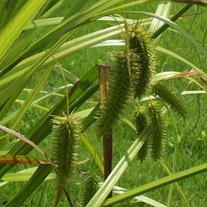 Photographie n°249954 du taxon Carex pseudocyperus L.