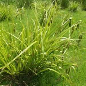 Photographie n°249955 du taxon Carex pseudocyperus L.