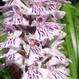 Photographie n°249965 du taxon Dactylorhiza Neck. ex Nevski