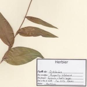 Photographie n°250029 du taxon Epipactis helleborine (L.) Crantz [1769]