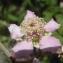 Genevieve Botti - Rubus ulmifolius Schott [1818]