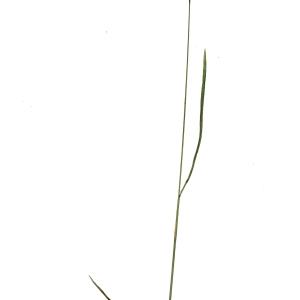 Photographie n°250084 du taxon Bromus squarrosus L. [1753]