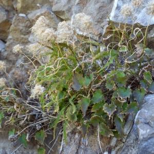Photographie n°250241 du taxon Phyteuma charmelii Vill. [1785]