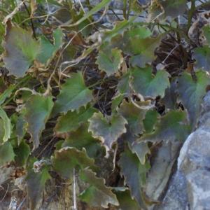 Photographie n°250243 du taxon Phyteuma charmelii Vill. [1785]
