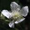 Liliane Roubaudi - Rubus caesius L. [1753]