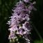 Liliane Roubaudi - Dactylorhiza fuchsii (Druce) Soó