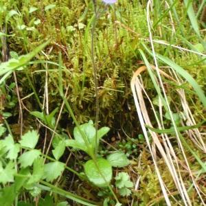 Photographie n°250383 du taxon Veronica aphylla L. [1753]