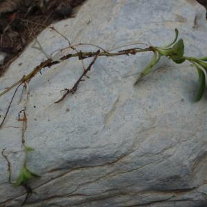 Photographie n°250413 du taxon Veronica aphylla L. [1753]