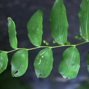 Photographie n°250476 du taxon Polygonatum multiflorum (L.) All. [1785]