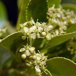 Euonymus japonicus L.f. (Fusain du Japon)