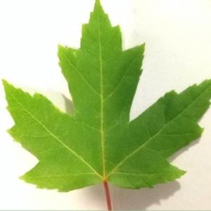 Acer saccharinum L. (Érable argenté)