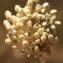 Errol Vela - Allium polyanthum Schult. & Schult.f.