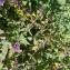 Liliane Roubaudi - Melampyrum nemorosum L.