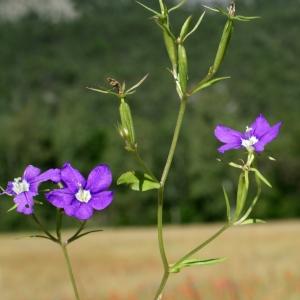 Photographie n°250670 du taxon Legousia speculum-veneris (L.) Chaix