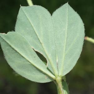 Photographie n°250743 du taxon Lotus maritimus L. [1753]