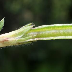 Photographie n°250746 du taxon Lotus maritimus L. [1753]