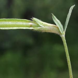 Photographie n°250748 du taxon Lotus maritimus L. [1753]
